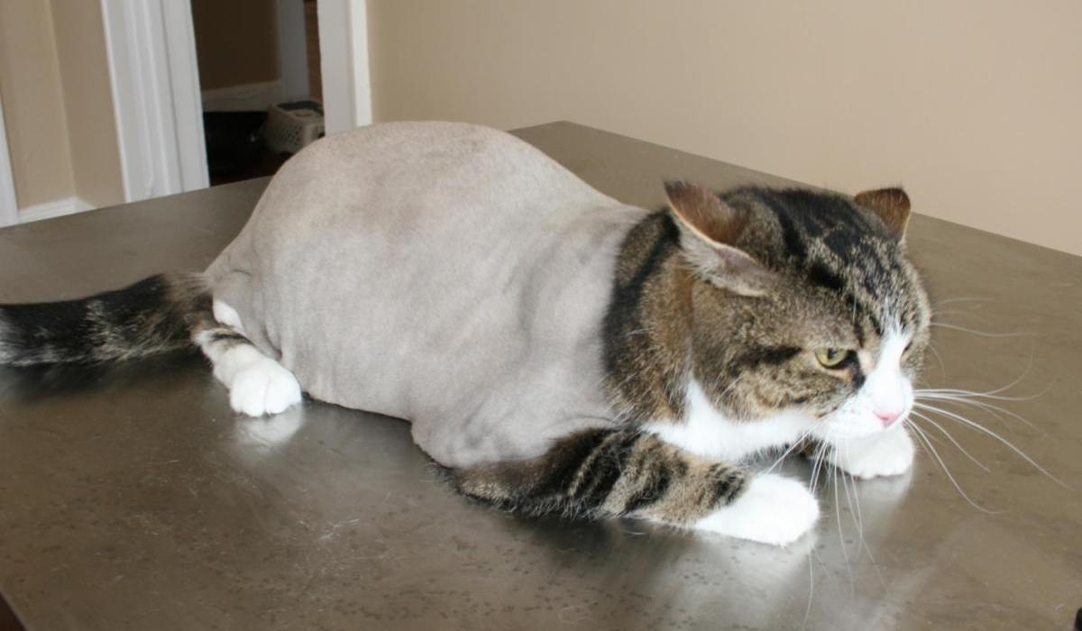 gatto con il corpo tosato