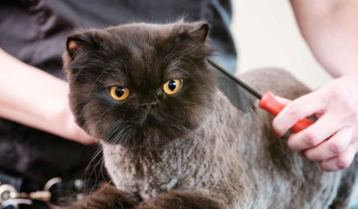 pettinare un gatto tosato