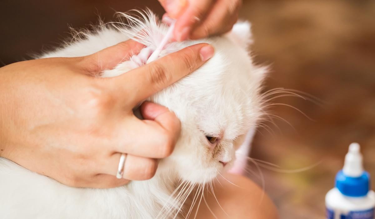 mettere le gocce nelle orecchie al gatto