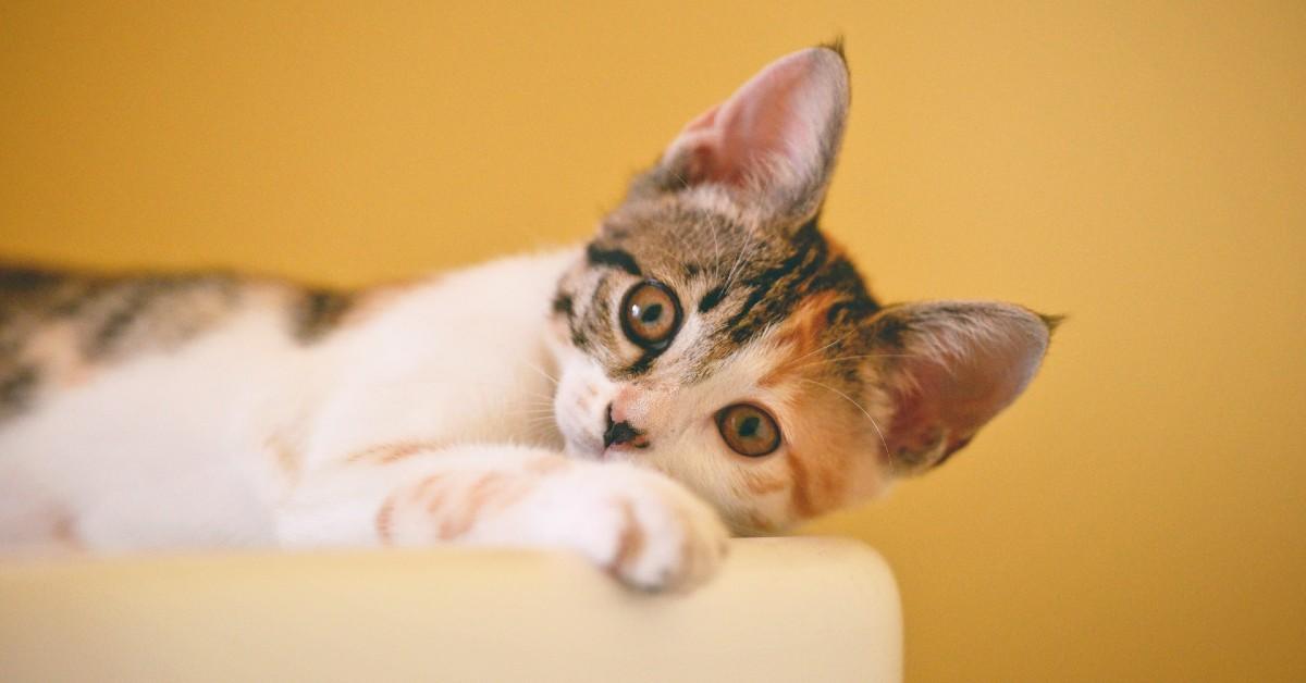 noduli sottopelle nel gatto