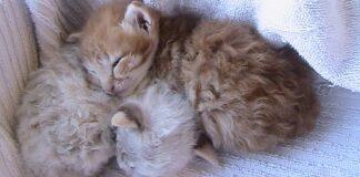 due gattini di razza laperm