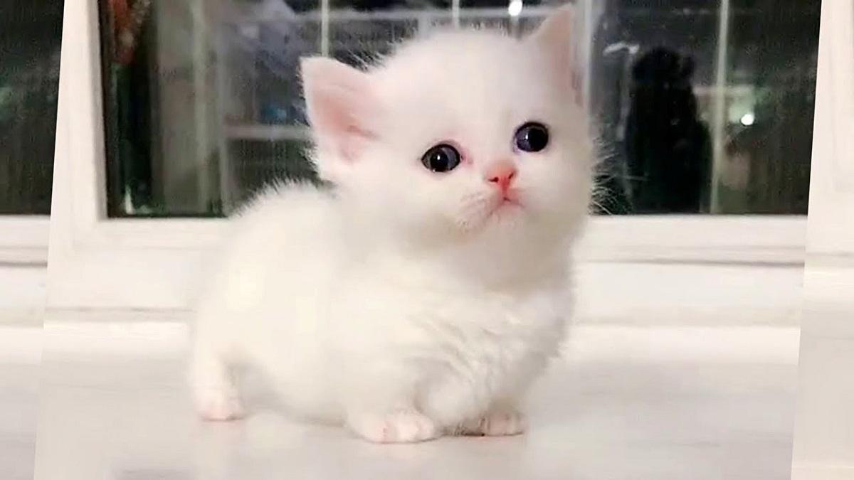 cucciolo di munchkin bianco