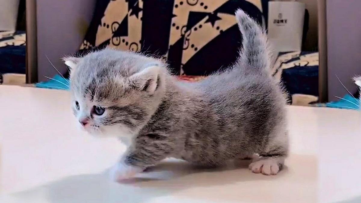 gattino dal pelo grigio