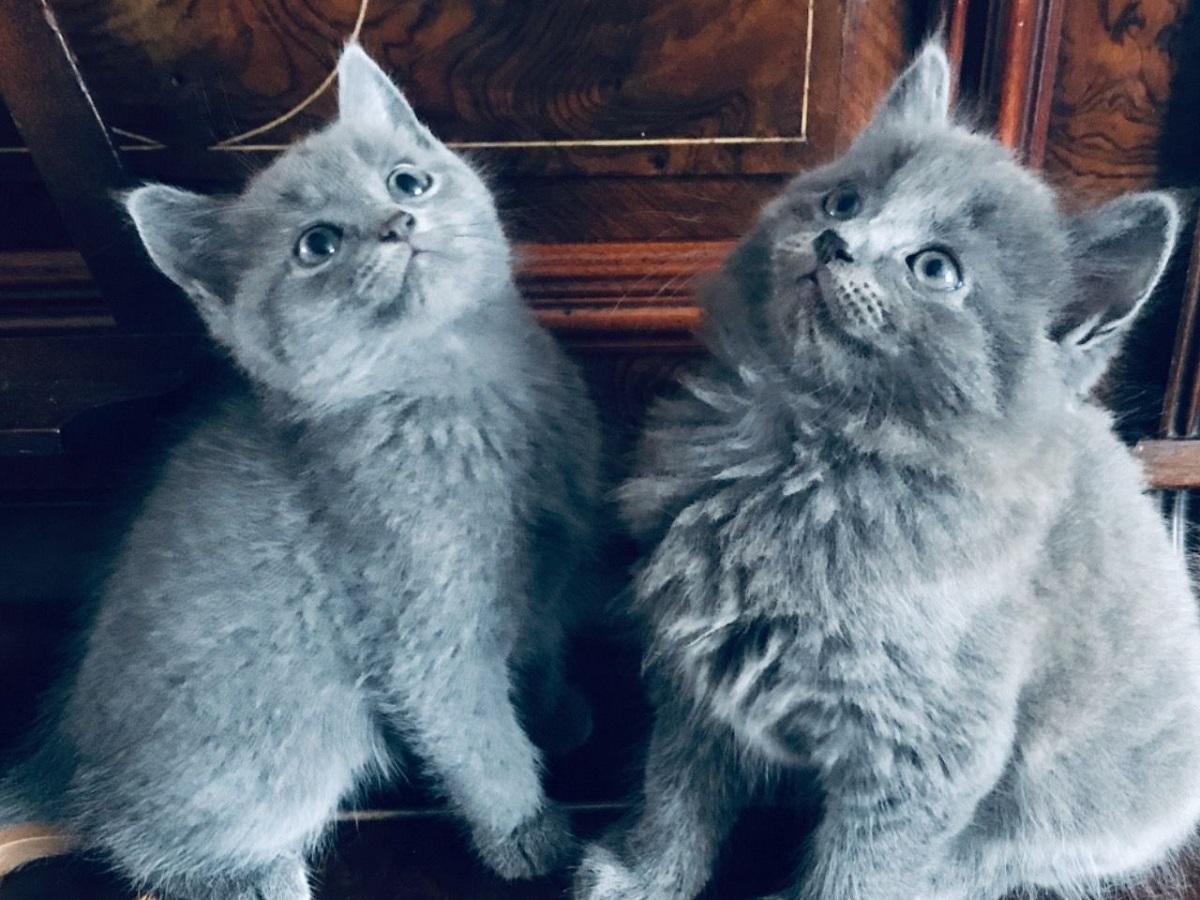 due gattini dal pelo grigio