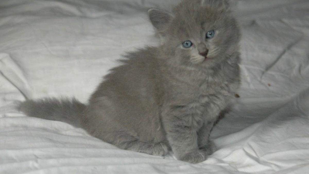 gattino nebelung seduto