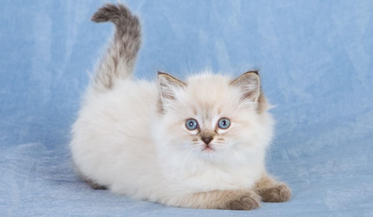 gattino con la coda grigia