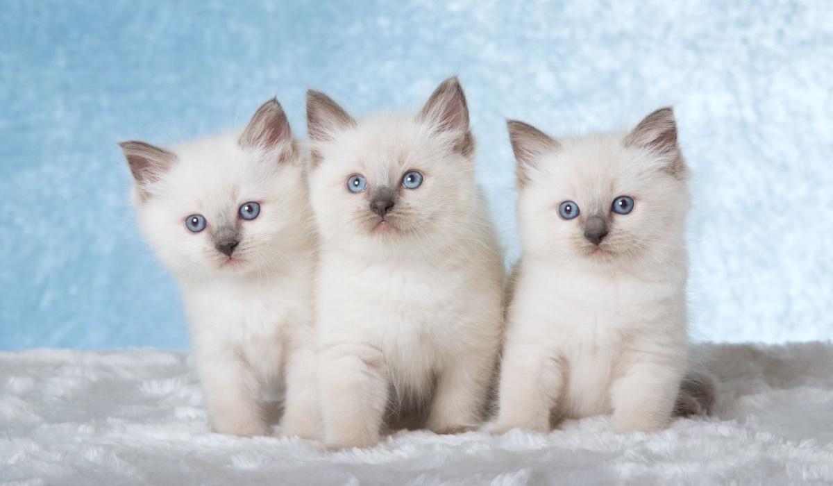 gattini di razza ragdoll