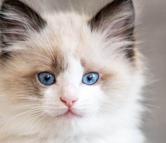 gattino di razza ragdoll