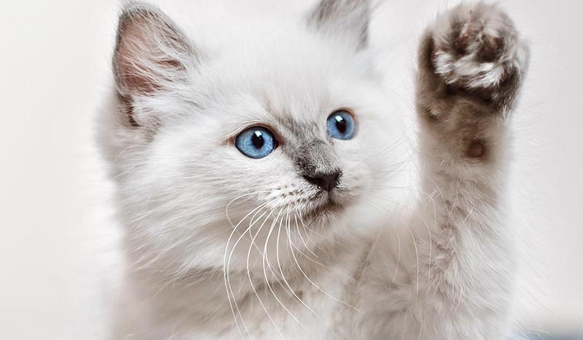 gattino che dà la zampa