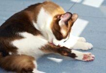 gatto si lecca continuamente