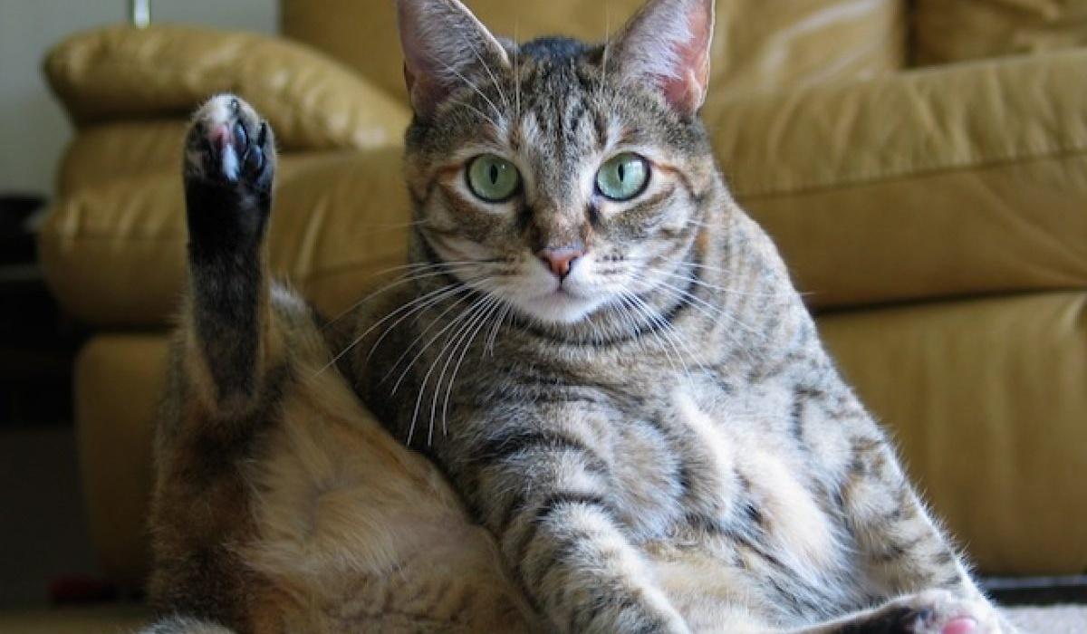 gatto si pulisce i genitali
