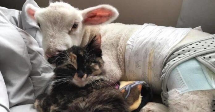 dora gattina calicò migliore amica agnellino