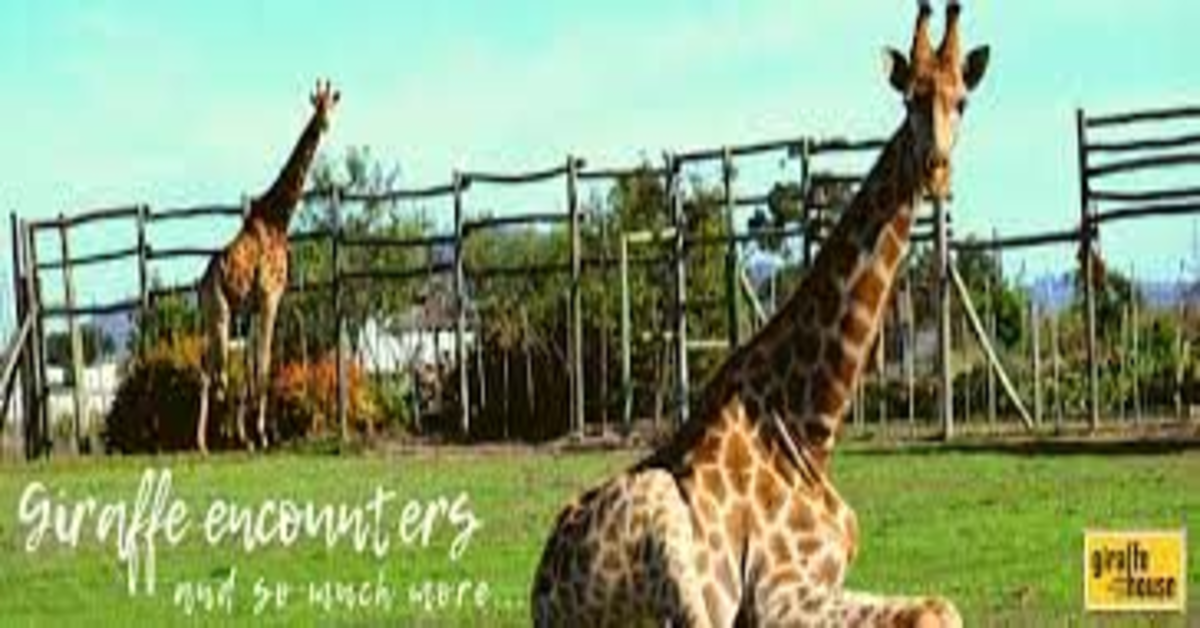 giraffe a the graceland riserva naturale