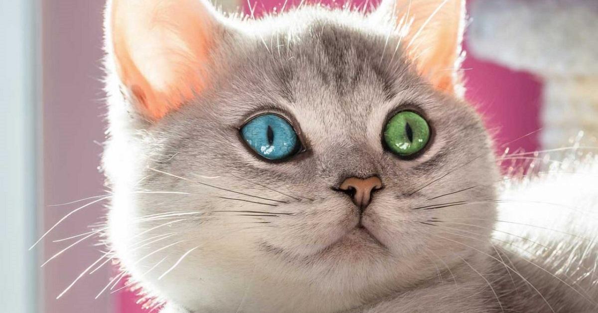 gatto con occhi verde e blu