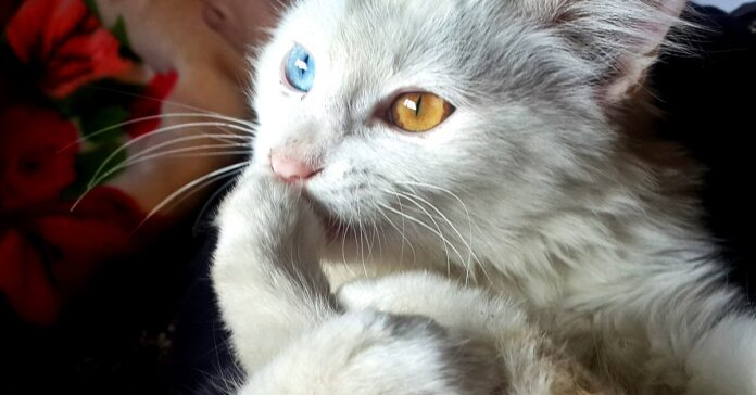 gatto bianco con eterocromia