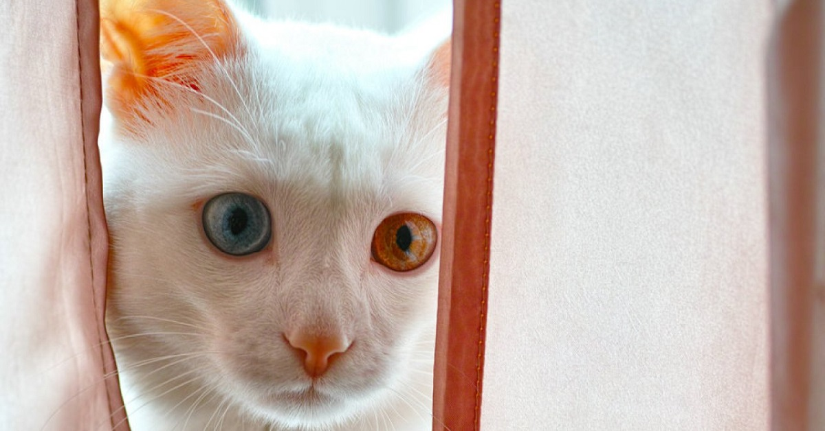 gatto con eterocromia che si nasconde