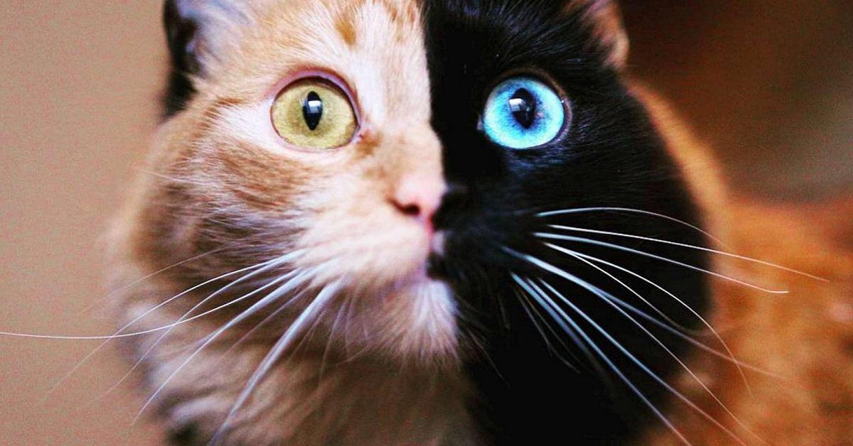gatto nero e miele con occhi diversi