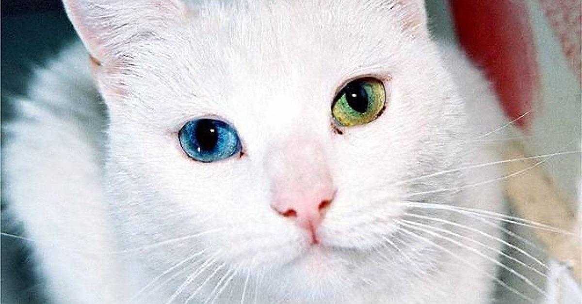 gatto con occhi verdi e azzurri