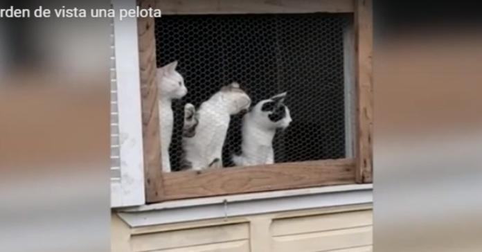 tre gatti guardano la palla