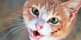gattino ferito