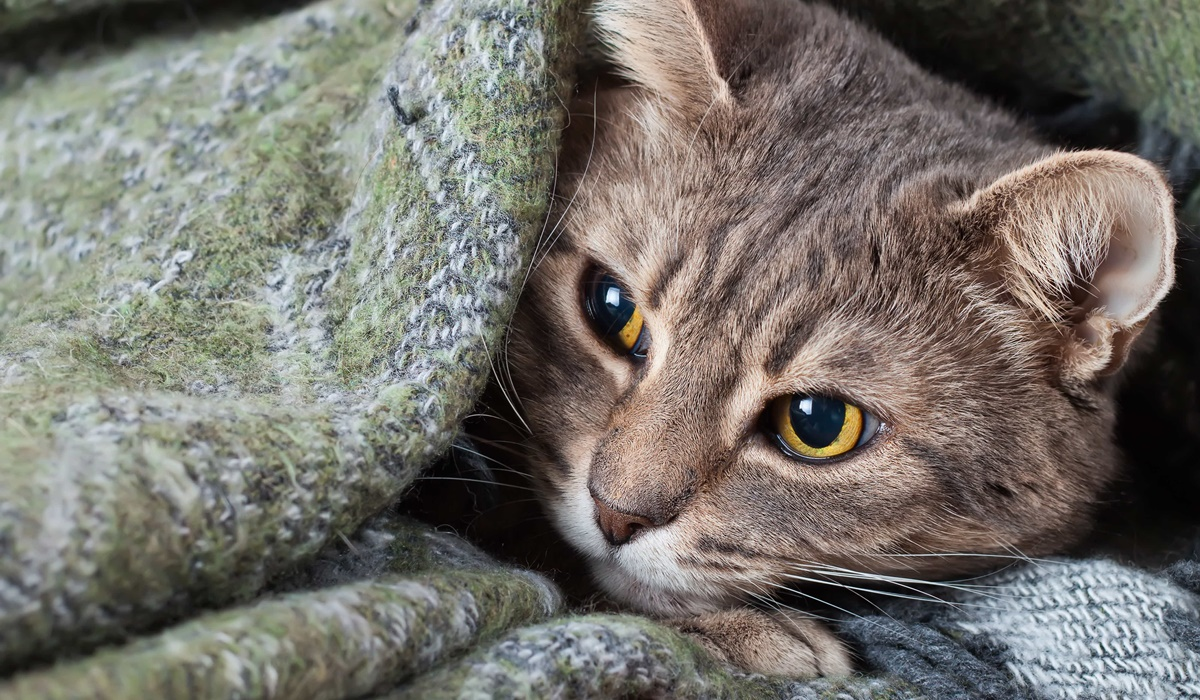 gatto sotto la coperta