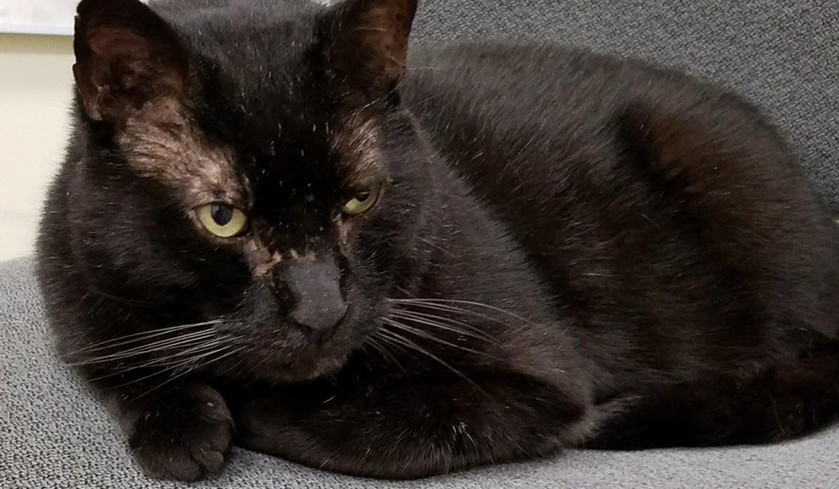 gatto nero con infezione alle orecchie