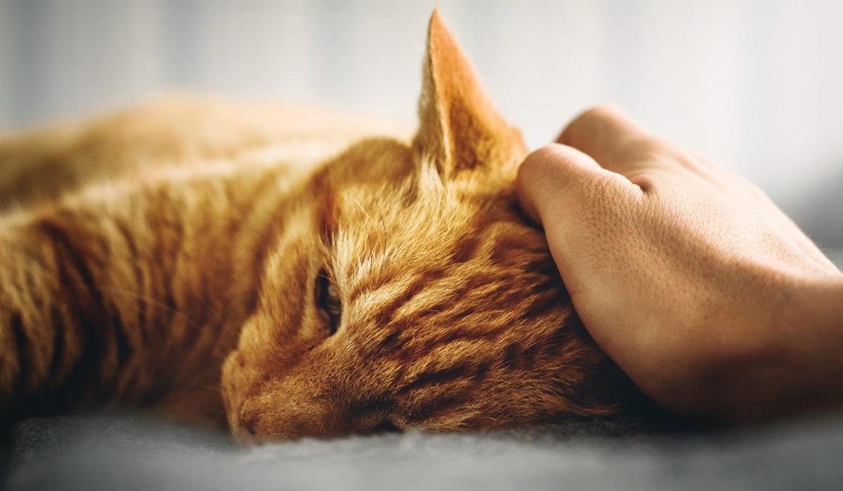 fare le carezze al gatto