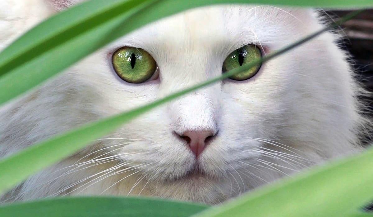 gatto bianco con gli occhi verdi