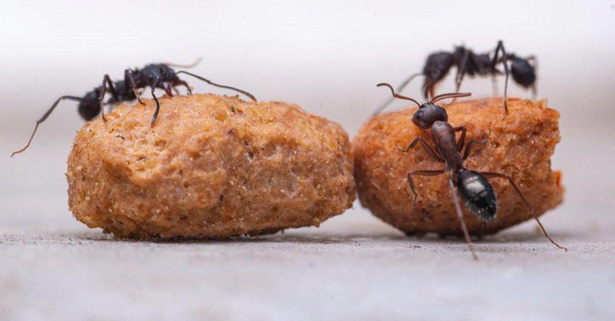 formiche su croccantini dei gatti