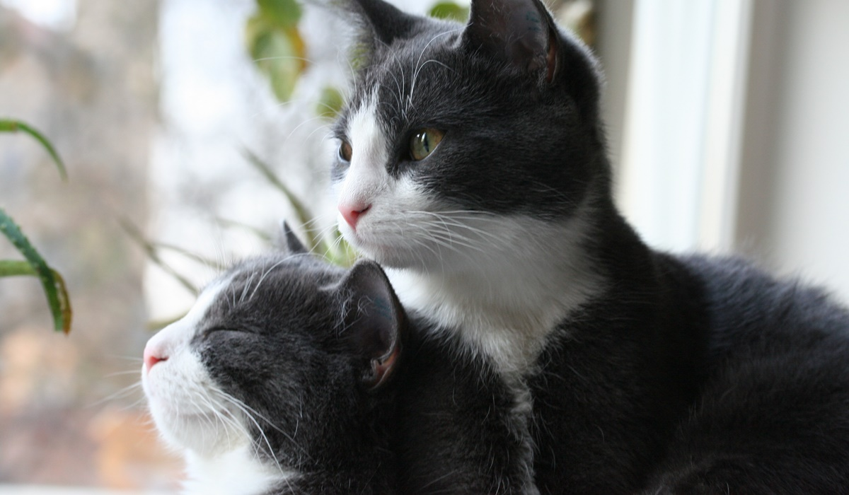gatti della stessa cucciolata