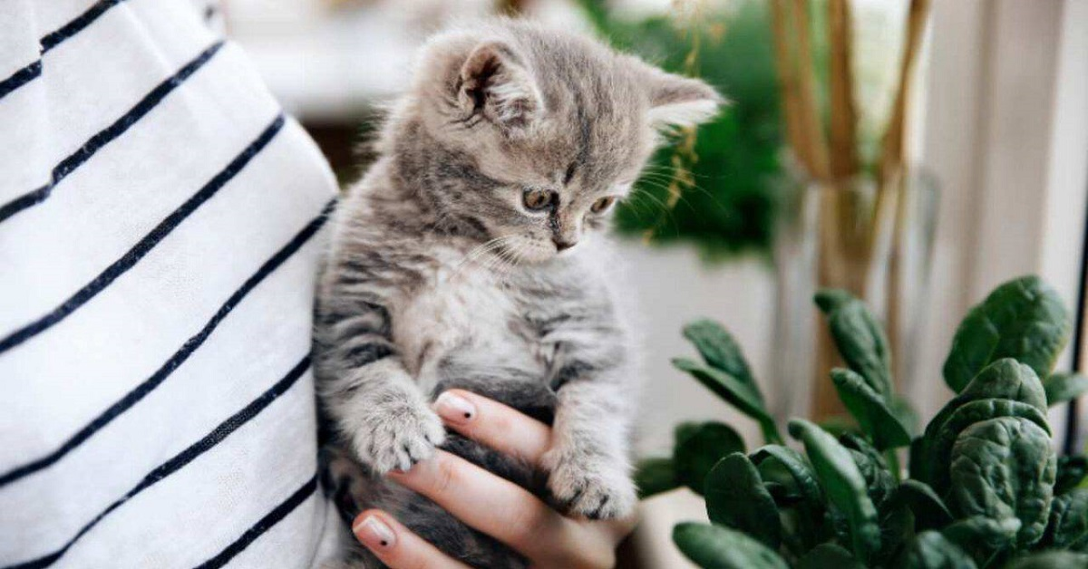 gattino guarda spinaci
