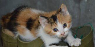 gattina calico doris