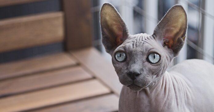 gattini Sphynx