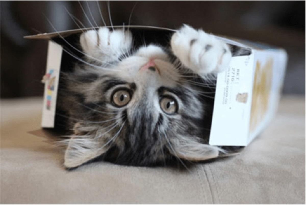 gattino tigrato dentro scatola