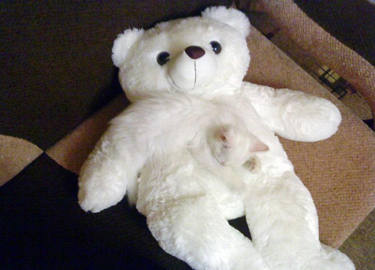 gattino dorme su orsacchiotto