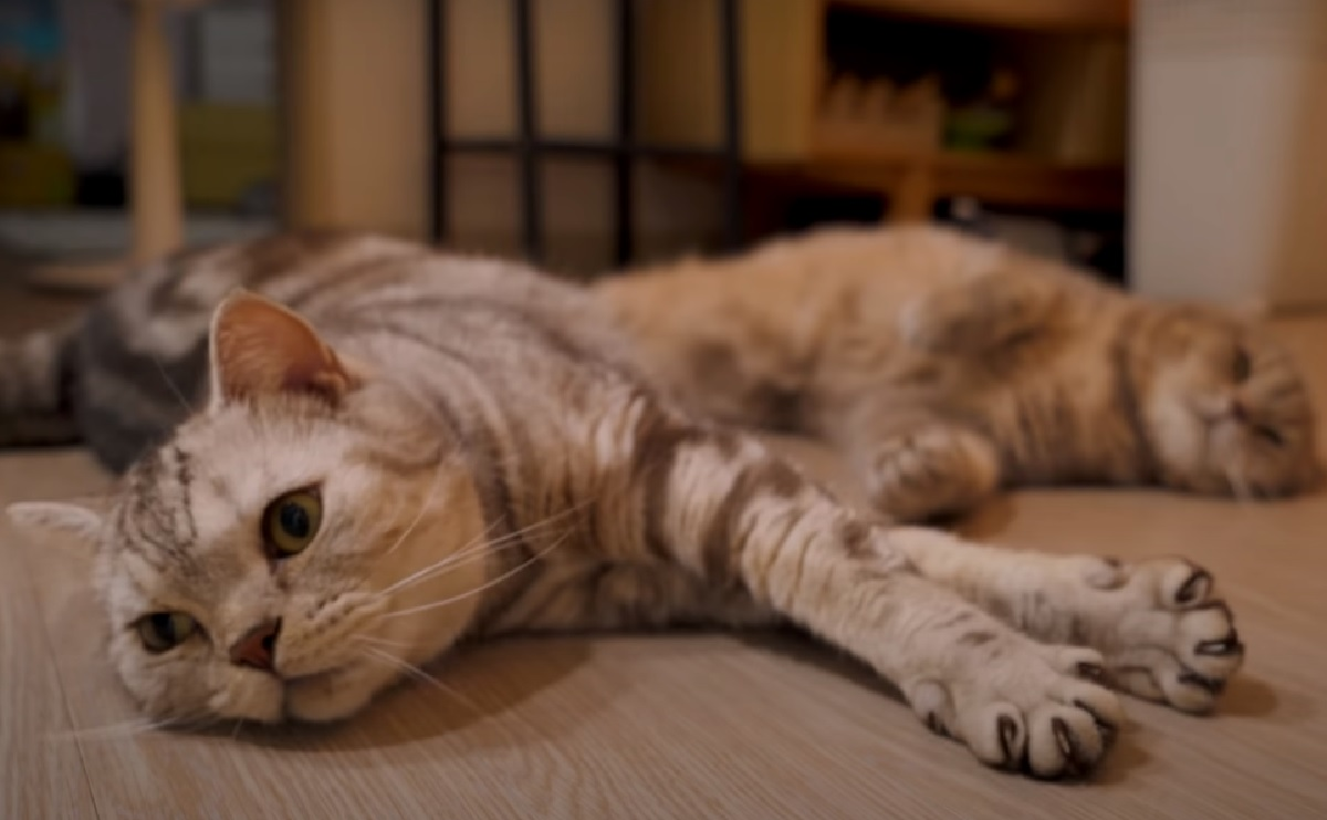 iz suri gattini confronto laser