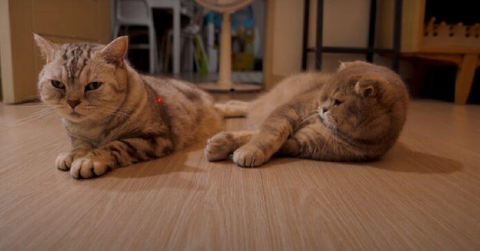 gattini giocano con laser ecco come si divertono video