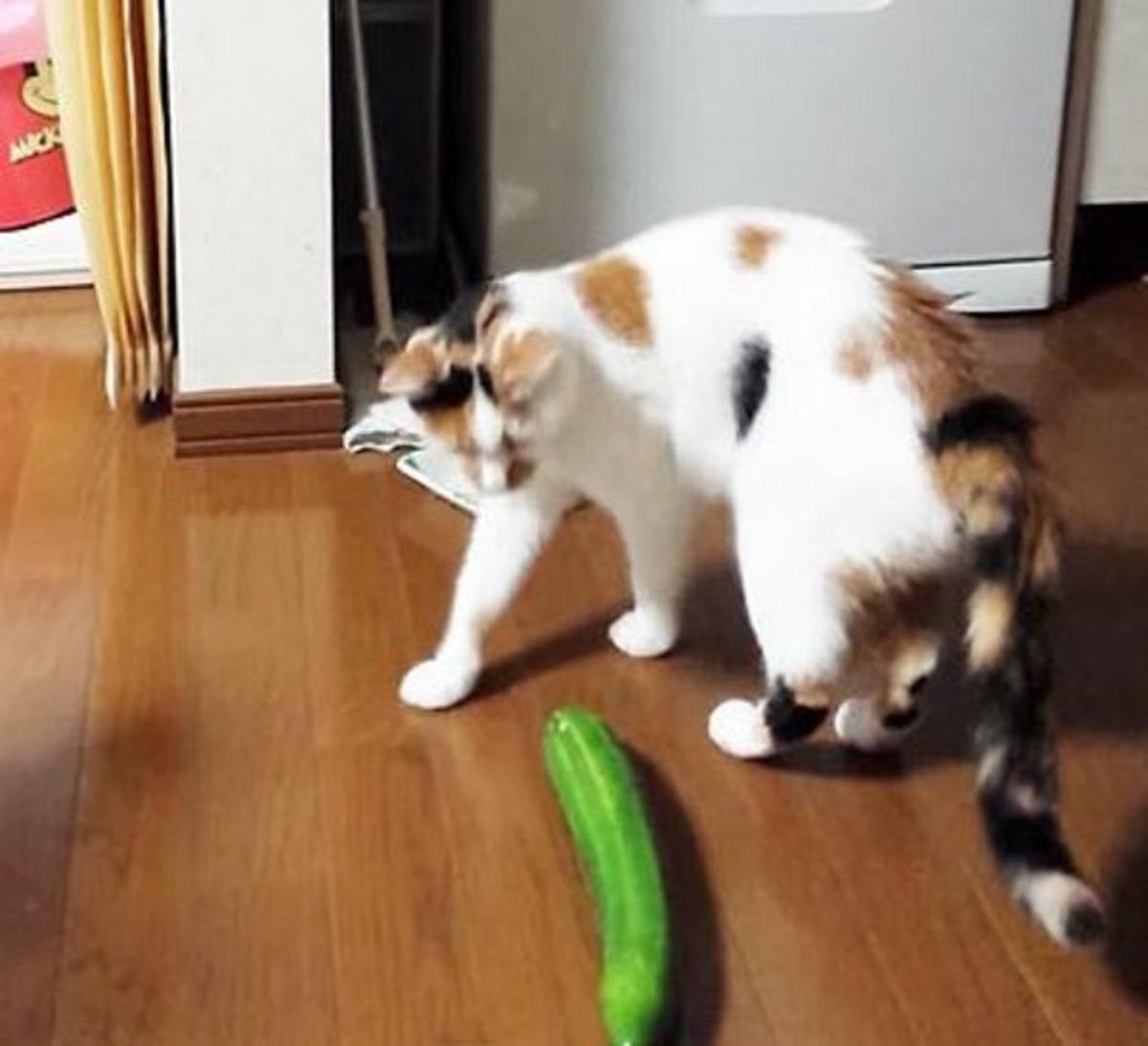 gatti reazione quando vedono zucchine