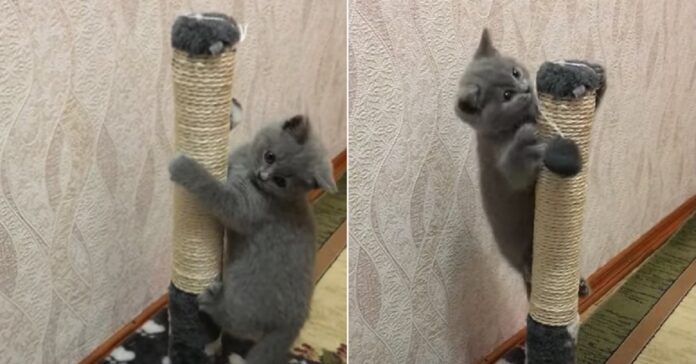 gattino British Shorthair arrampica