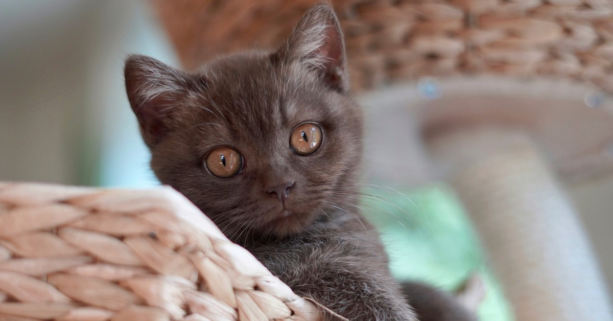 gattino British Shorthair