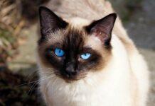 gattino Siamese che gioca con il topo di pezza