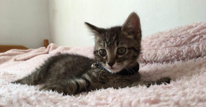 gattino tigrato sul letto
