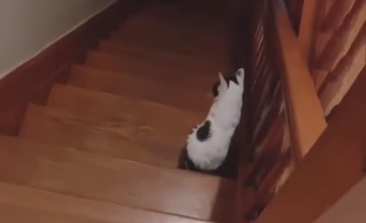 gattino europeo seduto