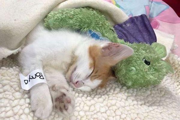 gattino inseparabile dal suo giocattolo