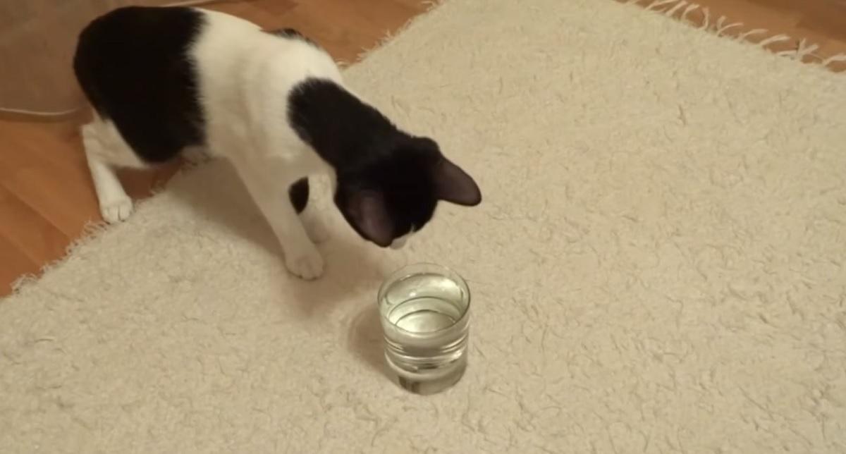 osserva gatto acqua