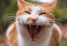 gatto soffia