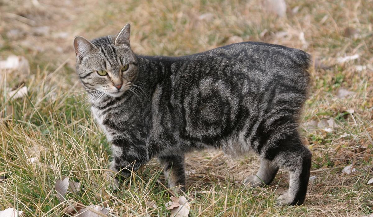 gatto di manx