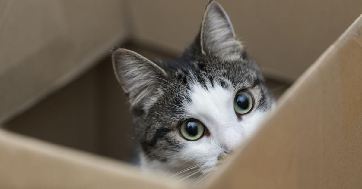 gatto si nasconde dentro una scatola