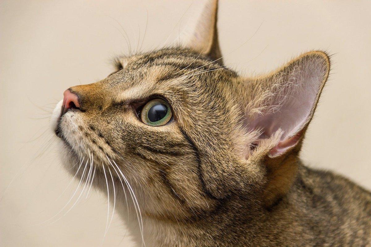 gatto tigrato e sguardo tenero