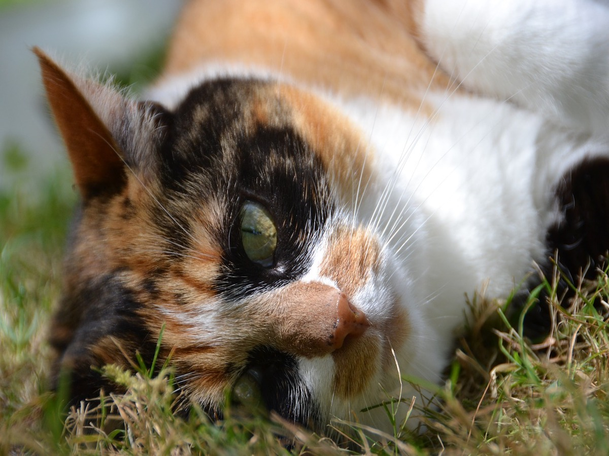 gatto europeo nero bianco e arancio